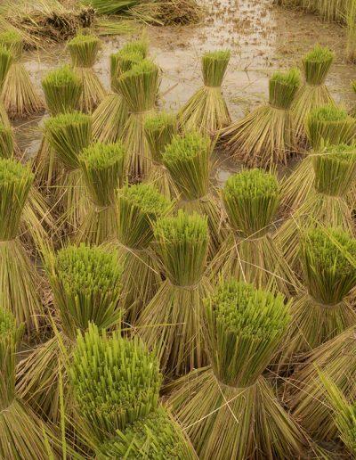 Rice Bundles